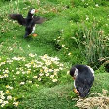 Puffins Skomer Wales Coast
